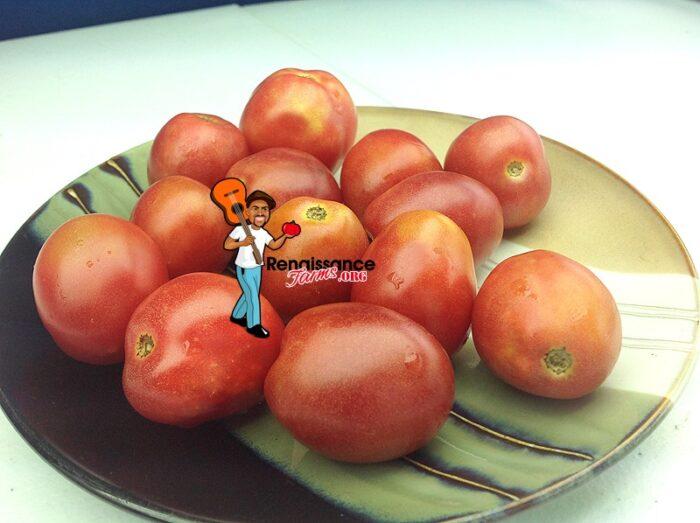 Dwarf Bendigo Blush Tomato