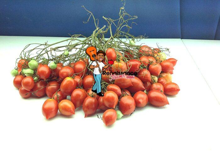 Dwarf Geranium Kiss Tomato