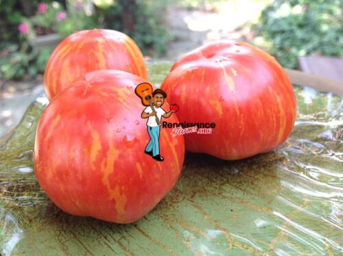 Dwarf Pixie Striped Tomatoes