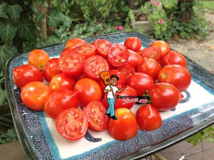 Geranium Kiss Dwarf Tomato