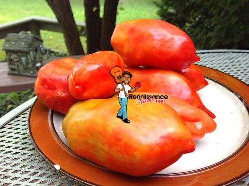 Jersey-Giant-Tomato-Seeds