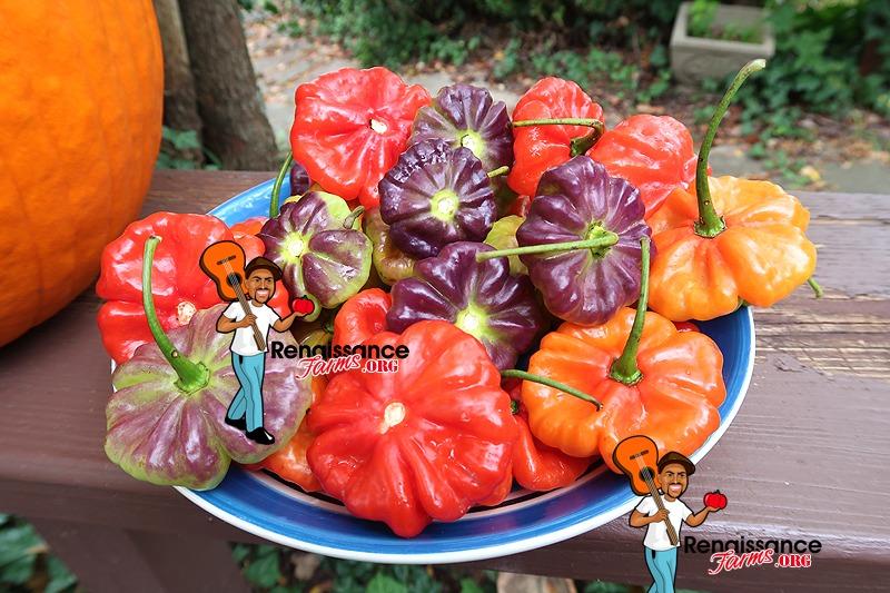 Aji Cachucha Pepper