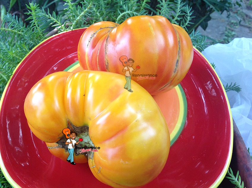 Lucky Cross Tomato