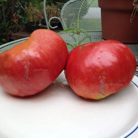 1884 Tomato