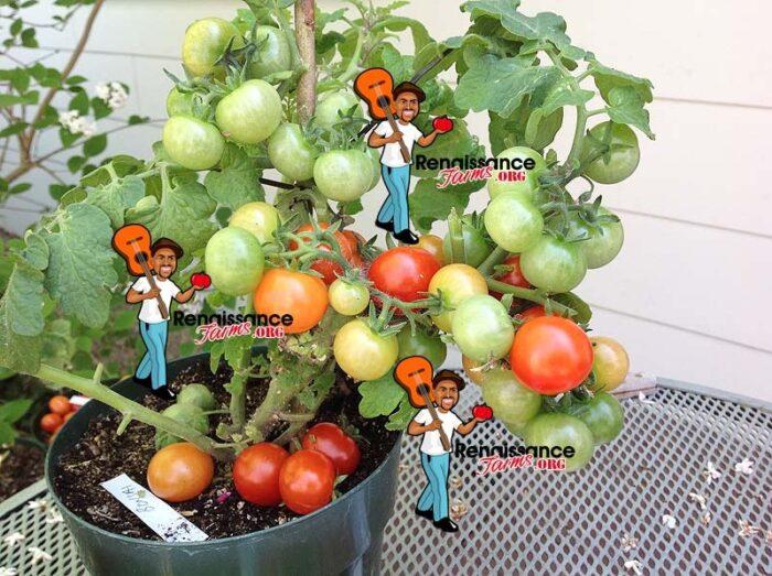 Bonasi Micro Dwarf Tomato