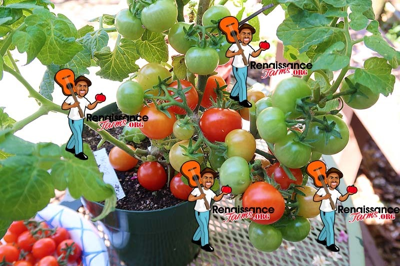 Bonsai Micro Dwarf Tomato Plant