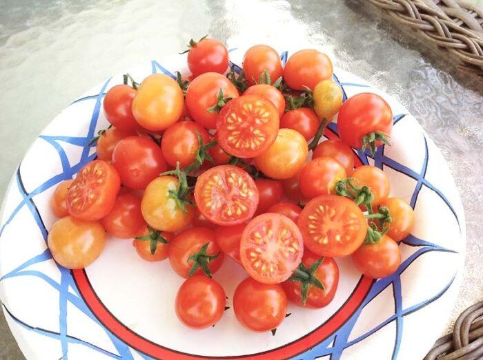 Bonsai Micro Dwarf Tomato Slice
