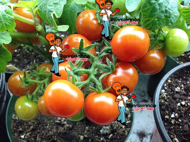 Micro-Dwarf-Bonsai-Tomato