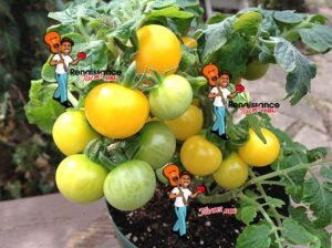 Monetka-Micro-Dwarf-Tomato