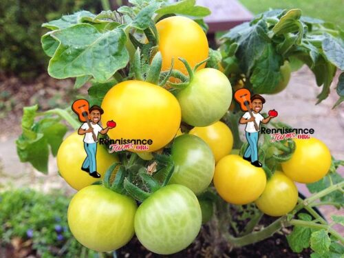 Monetka Micro Dwarf Tomato