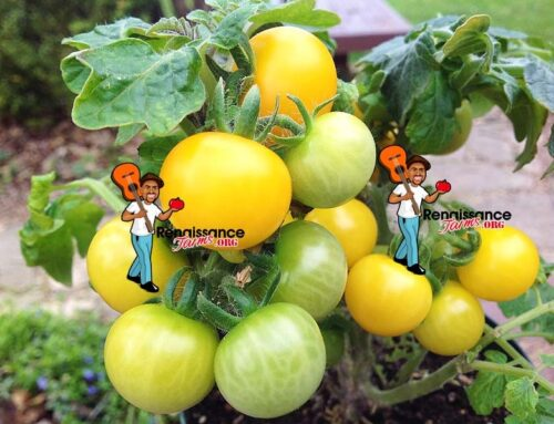 Dwarf And Micro Dwarf Tomato Differences