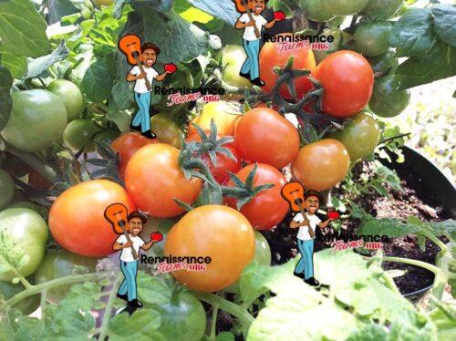 Pigmy Micro Dwarf Tomato