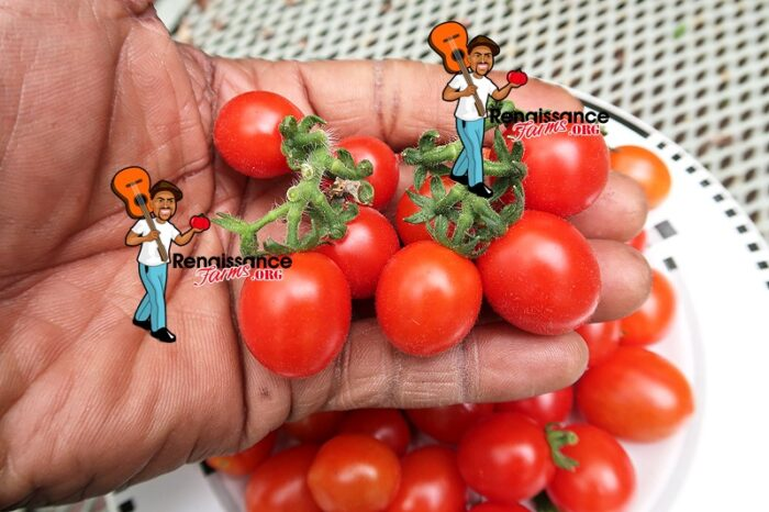 Curly Kaley Tomato Bunches