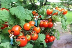 Micro Dwarf Tomato Window Box Red
