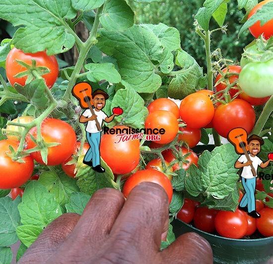 Micro Dwarf Window Box Red Tomato