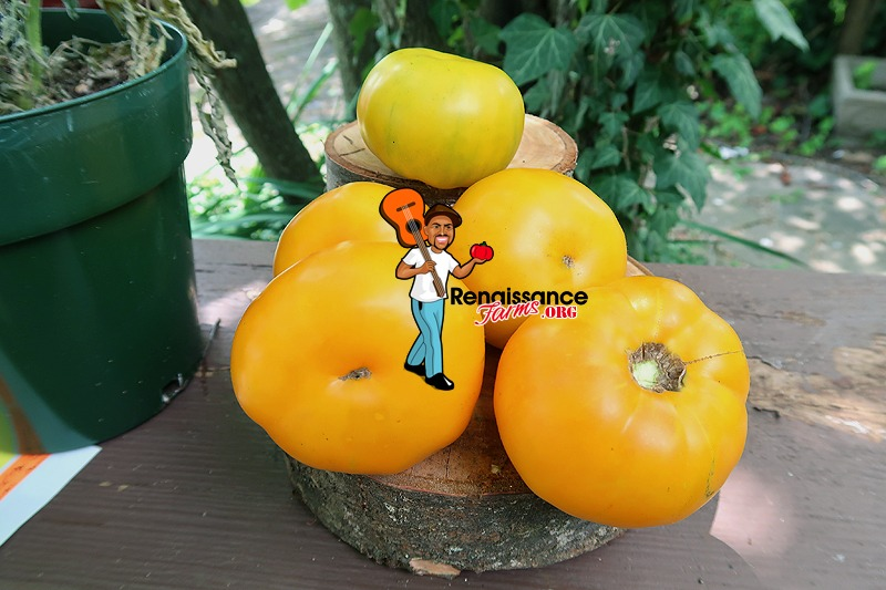 Big Orange From Amuz Tomato 2020