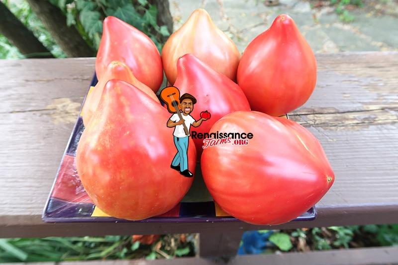 Cancelmo Family Heirloom Tomato