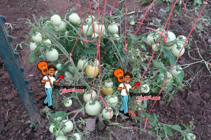 Chansky Early Tomato