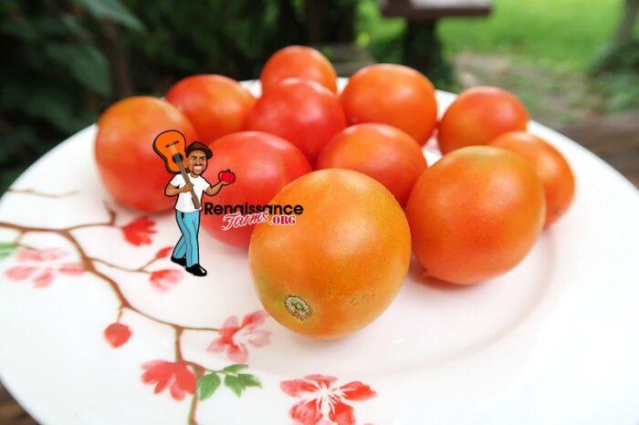 Chansky Early Tomato 2019