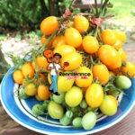 Date Fruit Tomato Plum Tomato