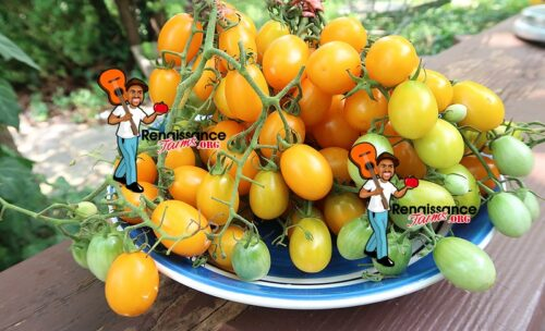Date Fruit Tomato Bunch
