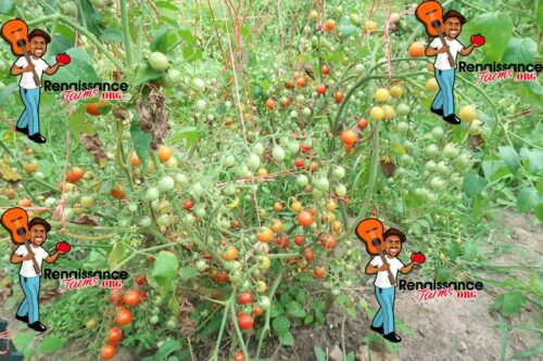 Hundreds And Thousands Tomato Plants