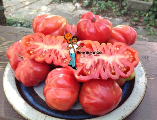 Information About Growing Heirloom Tomatoes