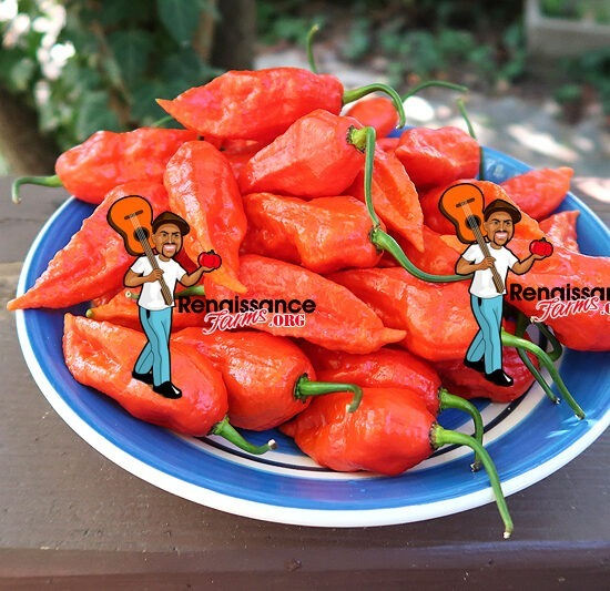 Ghost Bhut Jolokia Pepper