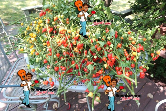 Biquinho Pepper Red Images