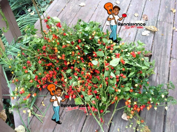 Biquinho Pepper Red