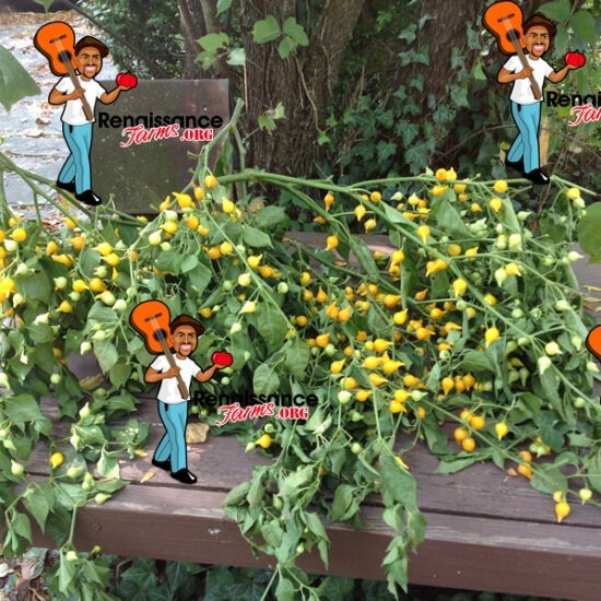 Biquinho Pepper Yellow
