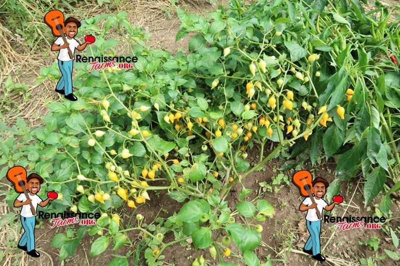 Biquinho Pepper Yellow Plants