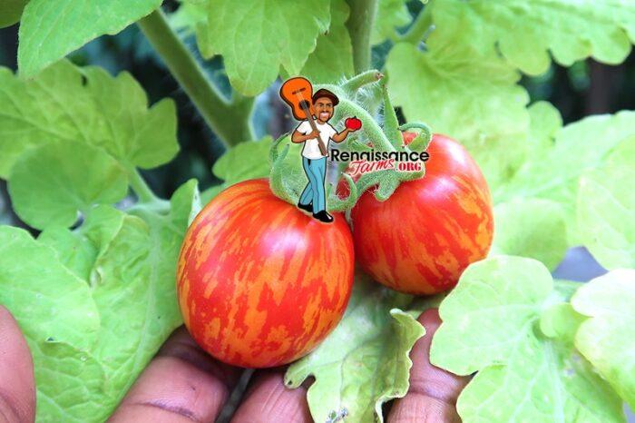 Tigerette Tomato