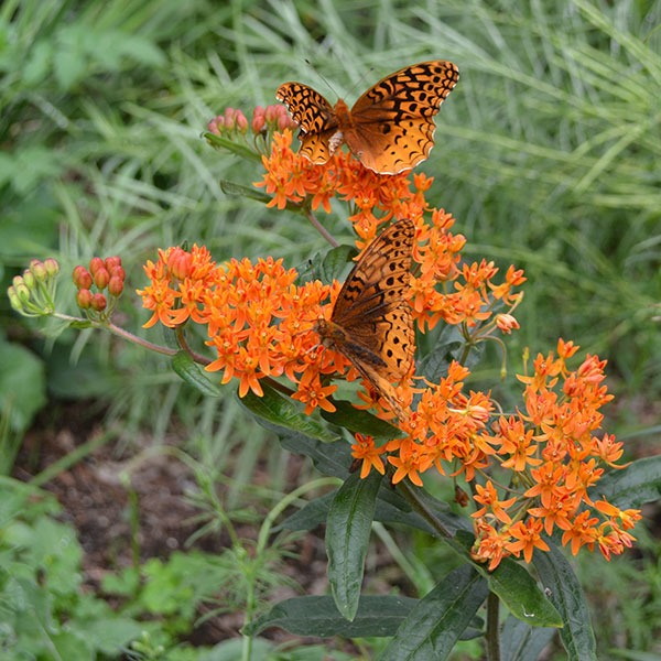 Butterfly Milkweed Plant