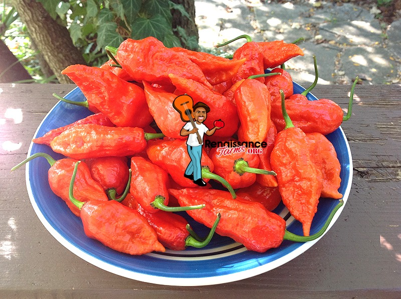 Ghost Pepper Bhut Jolokia