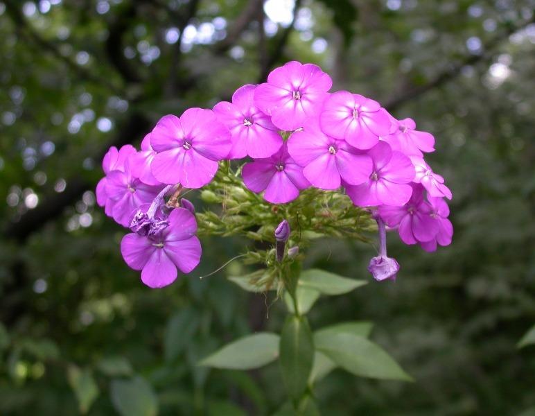Common Purple Phlox Seeds