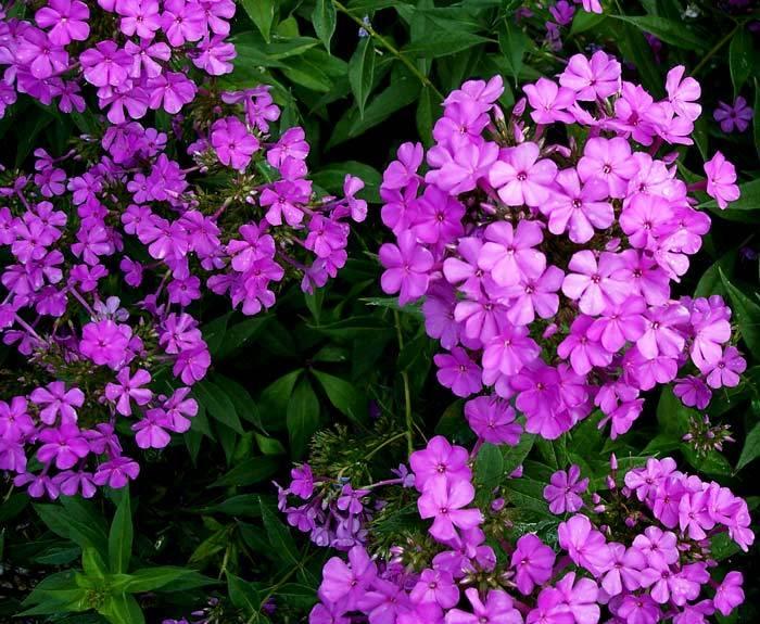 Common Purple Phlox