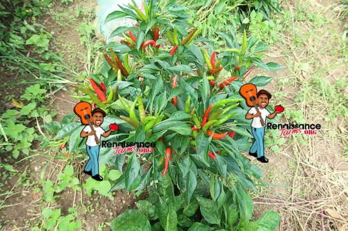 Thai Dragon Peppers
