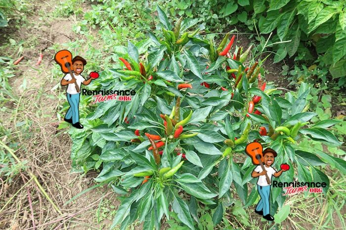 Thai Dragon Pepper Plant