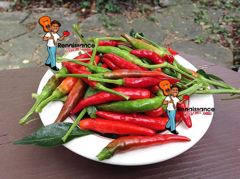 Thai Dragon Chili Pepper