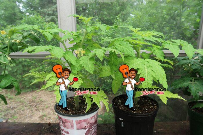 Tigerette Dwarf Tomato Plants