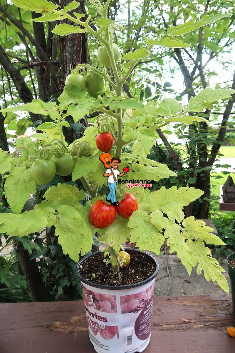 Tigerette Dwarf Tomato