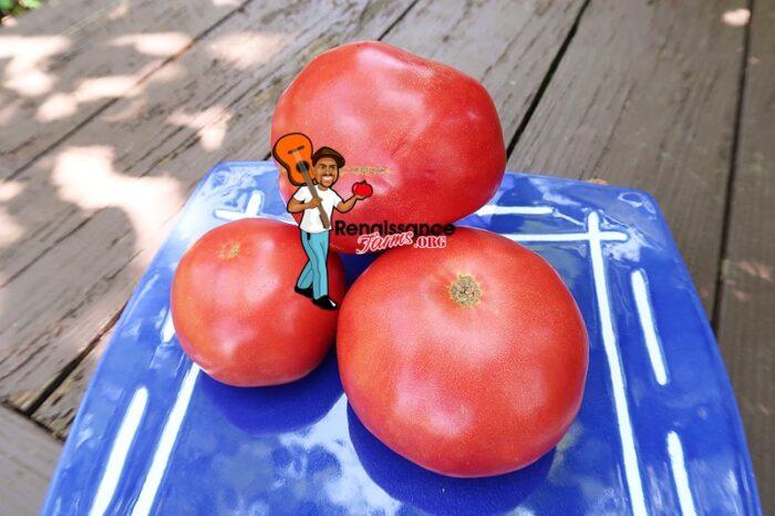 Winsall Tomato 2019