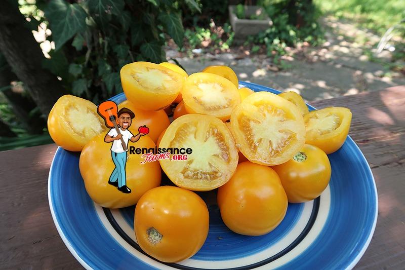 Dwarf Yantarnyi TomatoES