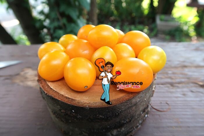 Zluta Kytice Cherry Tomato