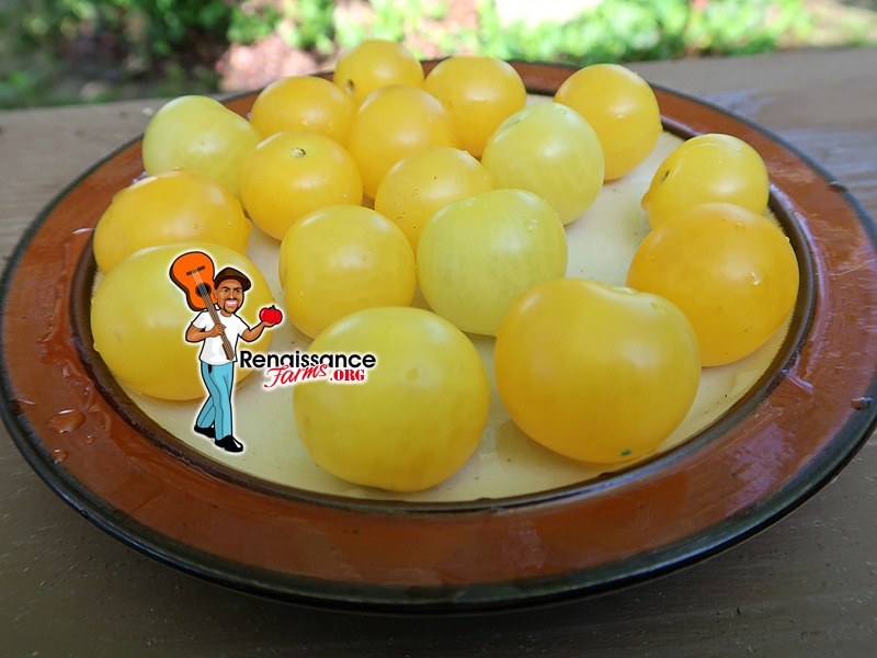 Birdie Jaune Micro Dwarf Tomato