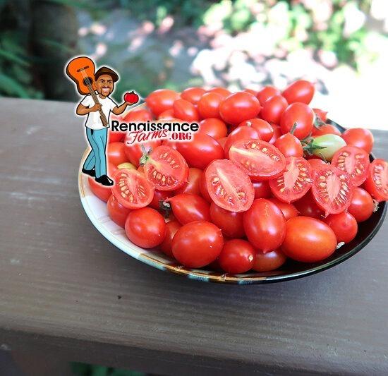 Hardin's Miniature Micro Dwarf Tomato
