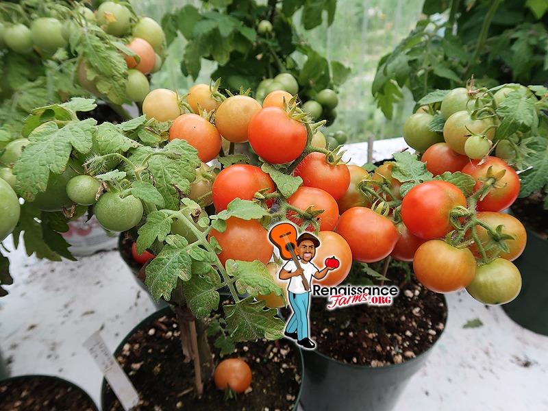 Moment Micro Dwarf Tomato