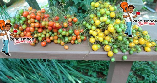 Multiflora Tomatoes