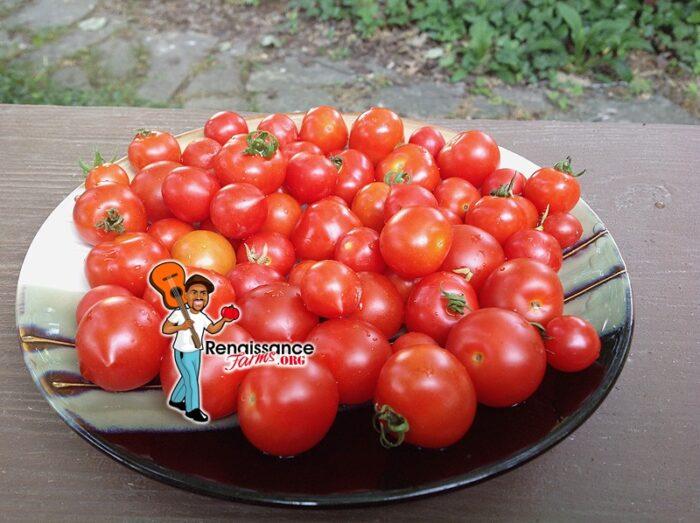 Delice De Neuilly Micro Dwarf Tomato